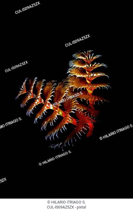 Christmas tree worms (spirobranchus giganteus) on black background, Cancun, Mexico
