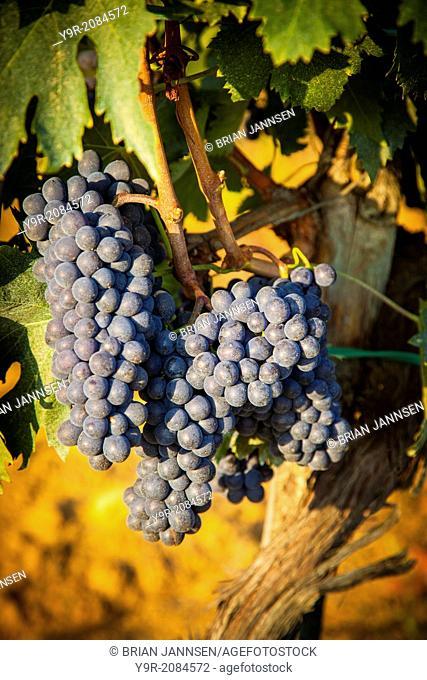 Sangiovese grapes ripen in a vineyard near Montepulciano, Tuscany, Italy