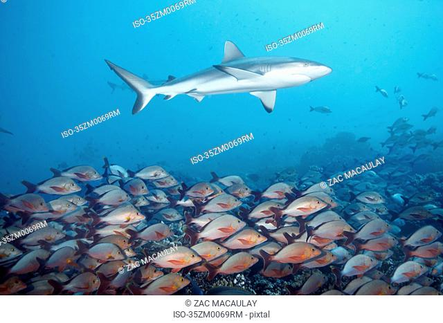 White tip reef shark over school of fish