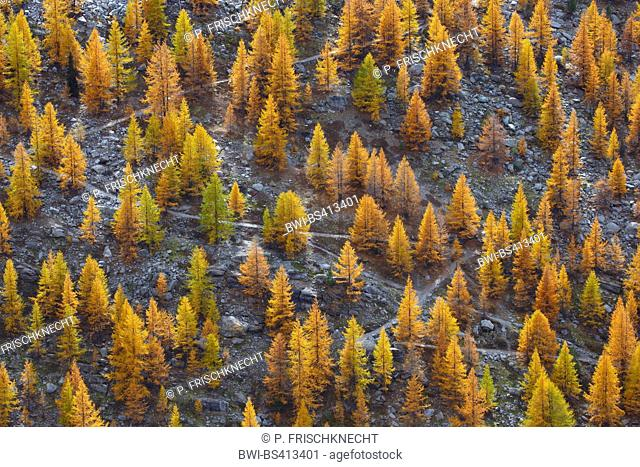 common larch, European larch (Larix decidua, Larix europaea), hiking trail through larch forest in autumn, Switzerland, Valais
