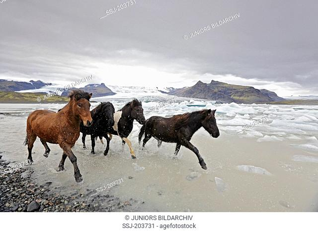 Icelandic Horse. Four adults trotting on an icy beach. Iceland