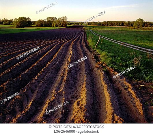 Potato field. Spring. Poland
