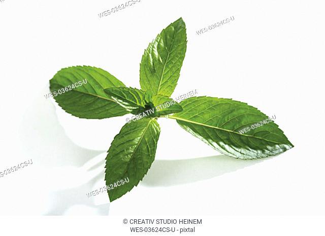 Mint, mentha spicata