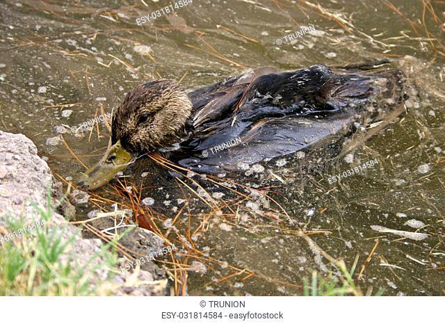 Duck that is sick