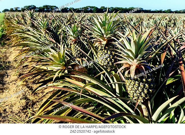 Pineapple (pine apple) farming. Hluhluwe. KwaZulu Natal. South Africa