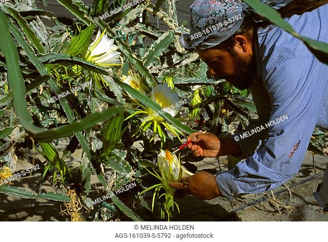 Agriculture - A worker pollinates a commercially grown Dragon Fruit Hylocereus undatus flower. Flowers open at night & are pollinated with a brush / CA -...