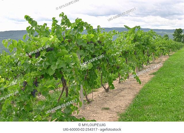 Grape vineyards in the Finger Lakes region of New York State