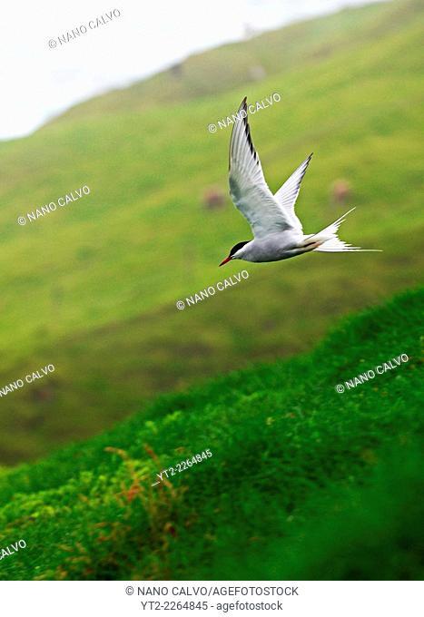 Arctic tern (Sterna paradisaea) in Mykines, Faroe Islands