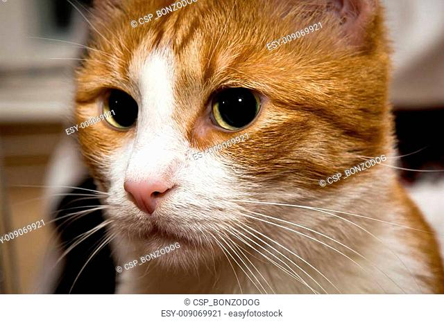 Young red cat with big green eyes