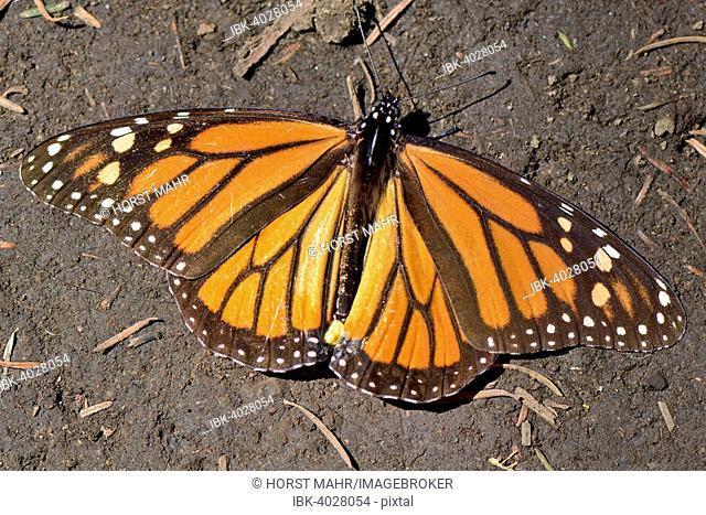 Monarch butterfly (Danaus plexippus), El Rosario, Monarch Butterfly Biosphere Reserve, Mariposa Monarca, Angangueo, Michoacán, Mexico