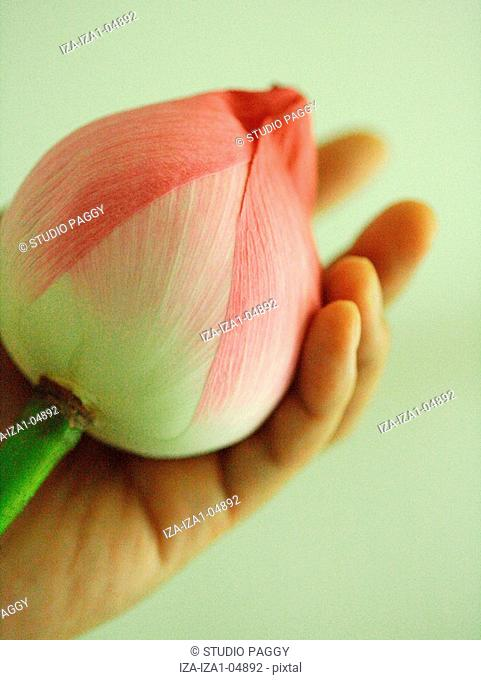 Close-up of a person's hand holding the bud of a lotus