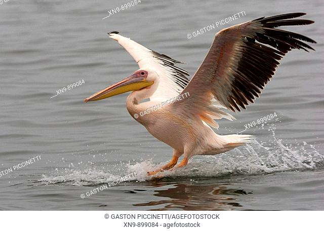 Great White Pelican (Pelecanus onocrotalus), touch down on the sea, Walvis Bay, Namibia