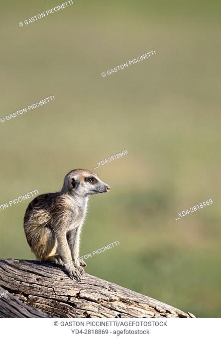 Suricate (Suricata suricatta), on a wooden log. Kgalagadi Transfrontier Park, Kalahari desert, South Africa/Botswana