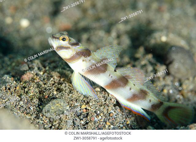 Slantbar Shrimpgoby (Amblyeleotris diagonalis, Gobiidae family) on black sand, Ghost Bay dive site, Amed, east Bali, Indonesia