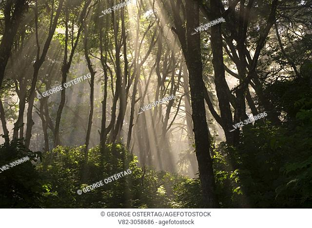 Coastal forest fog with sun rays at Ruby Beach, Olympic National Park, Washington