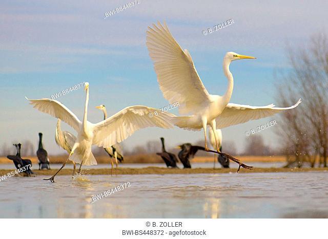 great egret, Great White Egret (Egretta alba, Casmerodius albus, Ardea alba), Great White Egrets conflicting in shallow water of a fish pond