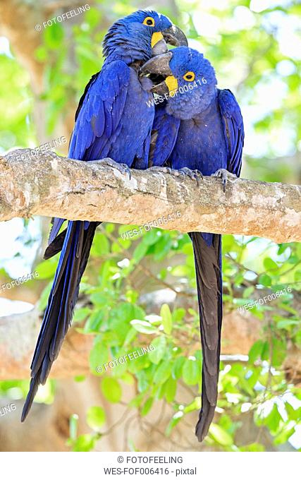 Brazil, Mato Grosso, Mato Grosso do Sul, Pantanal, hyazinth macaws ,Anodorhynchus hyacinthinus, sitting on branch