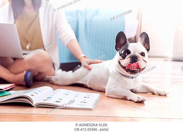 Portrait French Bulldog laying on floor