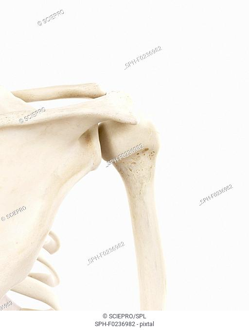 Illustration of the human shoulder bones