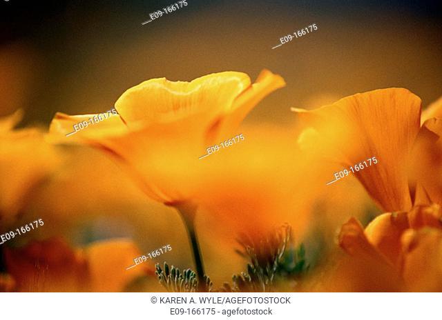 California Poppies (Eschscholzia californica). Antelope Valley. California. USA