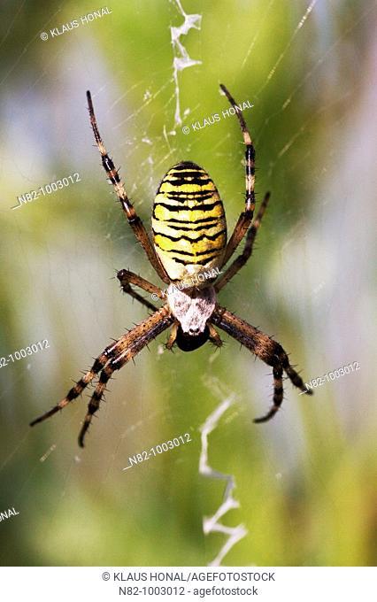 Zebra Spider or Wasp Spider Argiope bruennichi in its web with prey - Bavaria / Germany