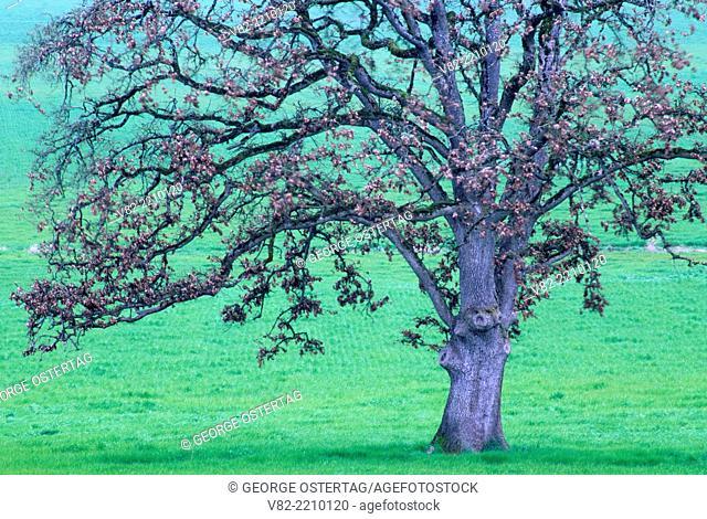 Oak in grass farm, Linn County, Oregon