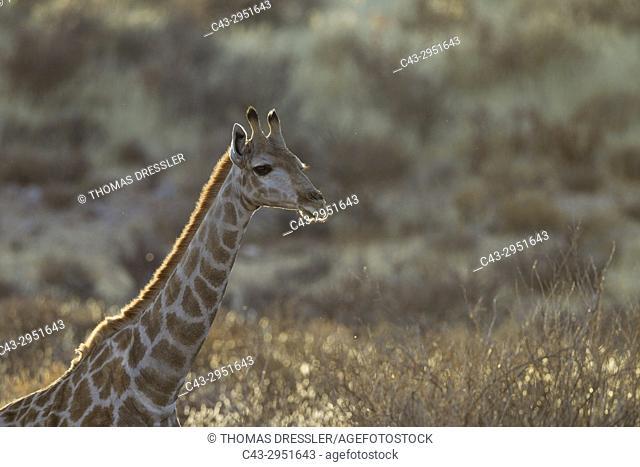 Southern Giraffe (Giraffa giraffa). Female. Kalahari Desert, Kgalagadi Transfrontier Park, South Africa