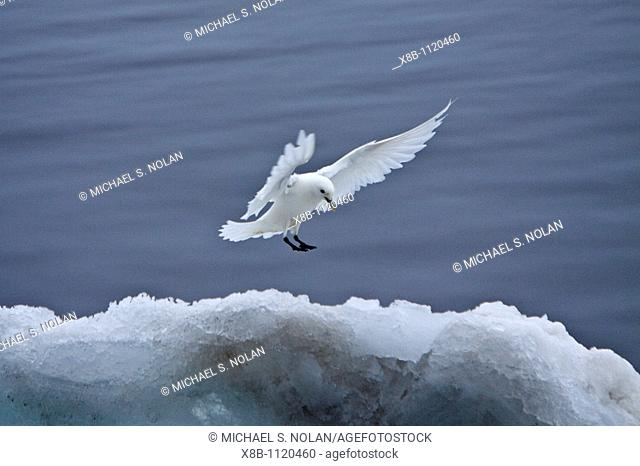 An adult ivory gull Pagophila eburnea near Monaco Glacier on the north side of Spitsbergen in the Svalbard Archipelago in the Barents Sea