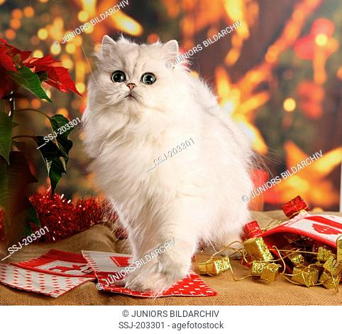 Chinchilla Persian Cat sitting in Christmas decoration. Germany