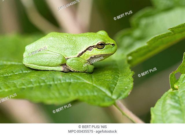 European Tree Frog (Hyla arborea) on Shrubby Blackberry (Rubus fruticosus), Netherlands