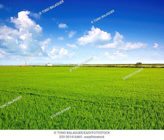 Green grass rice field in Valencia El Saler Spain