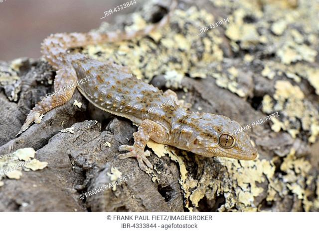 Full-grown Moorish wall gecko (Tarentola mauretanica) on dead wood, Alentejo, Portugal