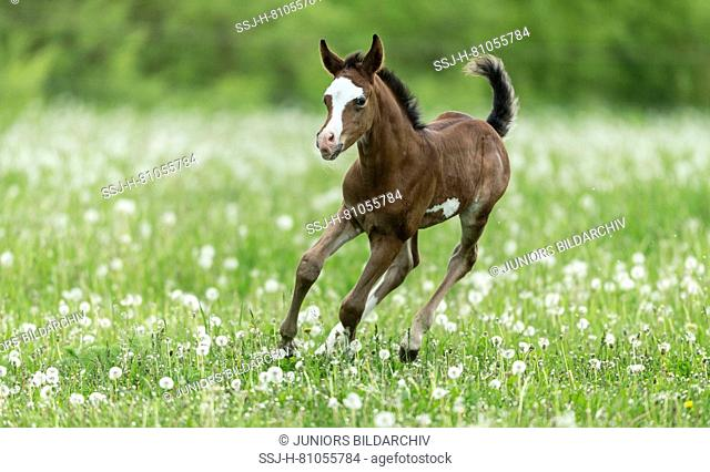 Arabian Horse. Foal galloping on a pasture with blowballs. Germany