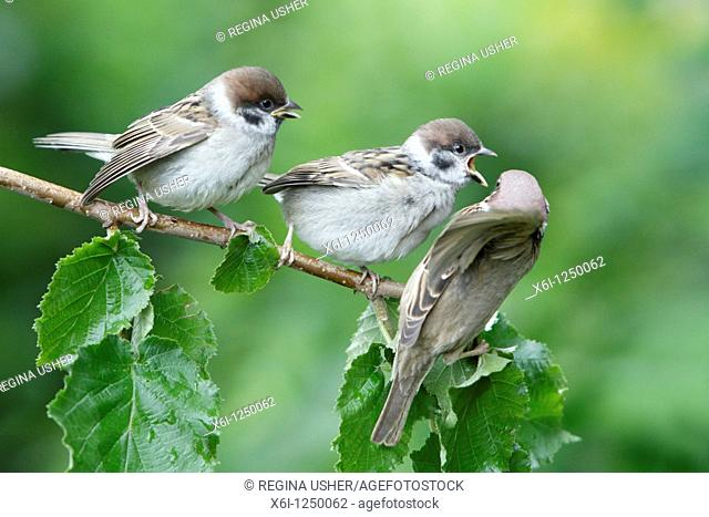 Tree Sparrow Passer montanus, young birds begging for food from parent, Germany