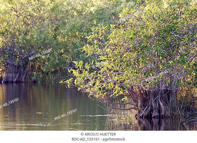 Red Mangrove Everglades national park Florida USA Rhizophora mangle
