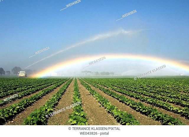 Fields of beans under irrigation producing a rainbow near Homestead, Florida, USA
