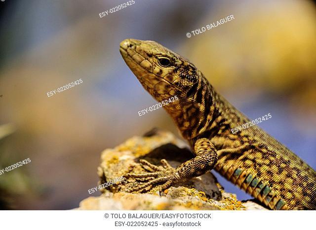 Sargantana, Podarcis lilfordi giglioli. Parque natural de Sa Dragonera. Isla Dragonera. Sierra de Tramuntana. Majorca, Balearic Islands, Spain