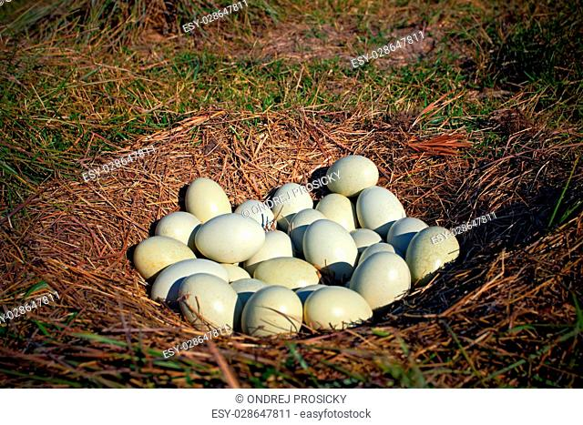 Many eggs in the ground nest, nest of Greater Rhea, Rhea america