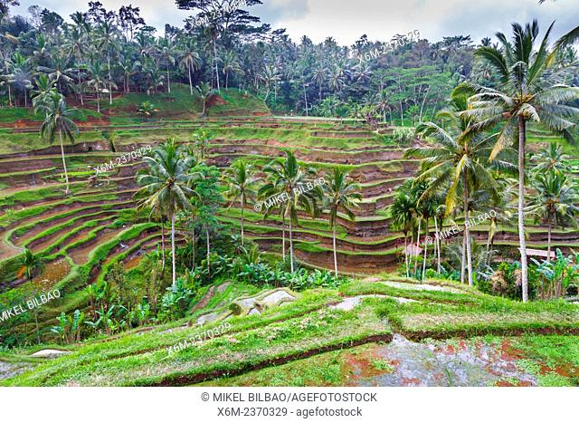 Tegallalang rice field. Bali. Indonesia, Asia