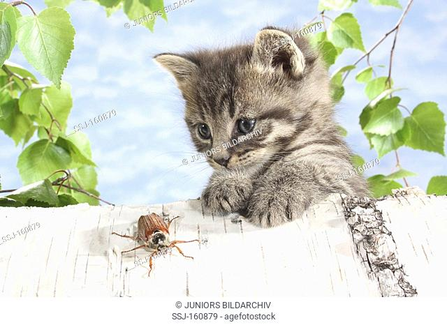 tabby kitten - observing a common cockchafer