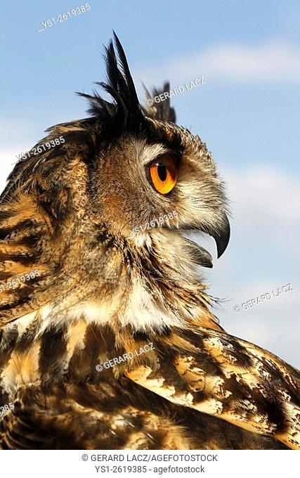 European Eagle Owl, asio otus, Portrait of Adult