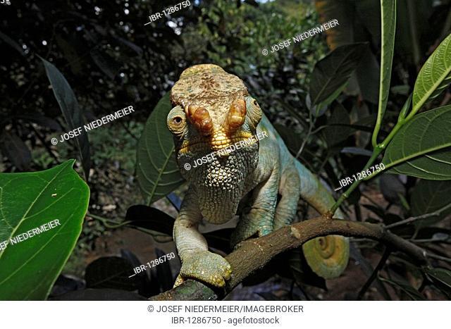 Orange Lip variety, Parson's chameleon (Calumma parsonii), East Coast, Madagascar, Africa