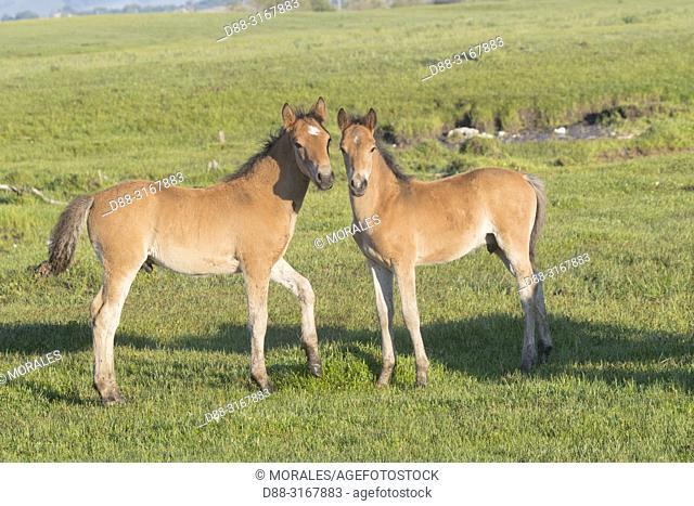 China, Inner Mongolia, Hebei Province, Zhangjiakou, Bashang Grassland, two foal