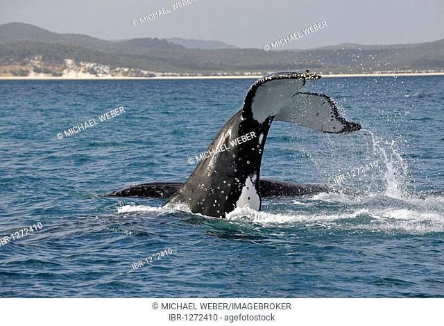 Species-specific tail slap, slap of the tail fin, of a Humpback Whale (Megaptera novaeangliae) in front of Fraser Island, Hervey Bay, Queensland, Australia