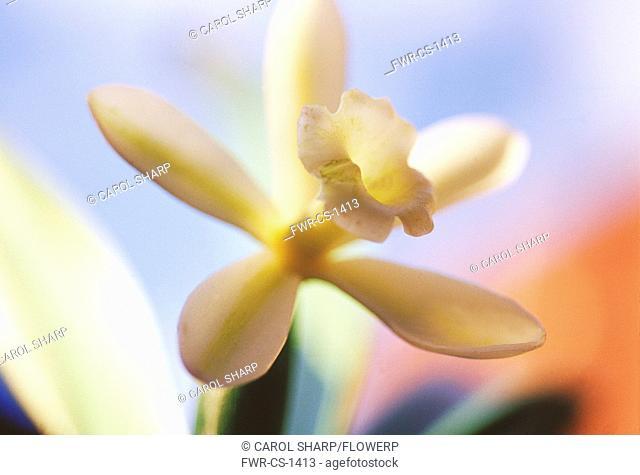 Vanilla, Vanilla planifolia