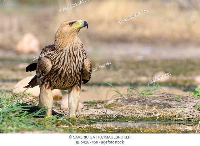 Imperial Eagle or Eastern Imperial Eagle (Aquila heliaca), juvenile, Salalah, Dhofar, Oman