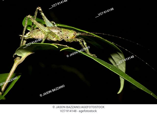 A well-camouflaged katydid bush cricket in the lowland tropical rainforests of Costa Rica