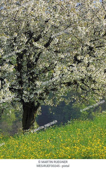 Switzerland, Cherry blossom in field, close-up