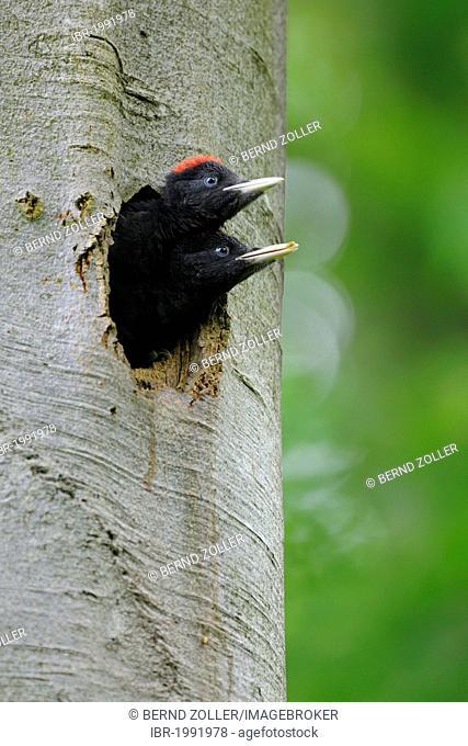 Black Woodpecker (Dryocopus martius), young birds shortly before flying out, Biosphaerenreservat Schwaebische Alb or Swabian Mountains Biosphere Reserve