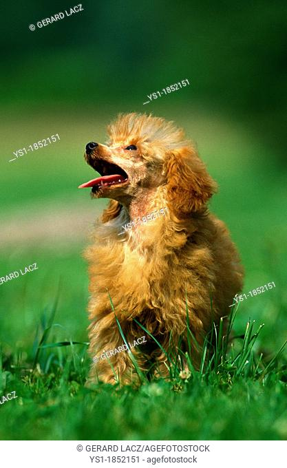 Abricot Toy Poodle, Adult standing on Grass